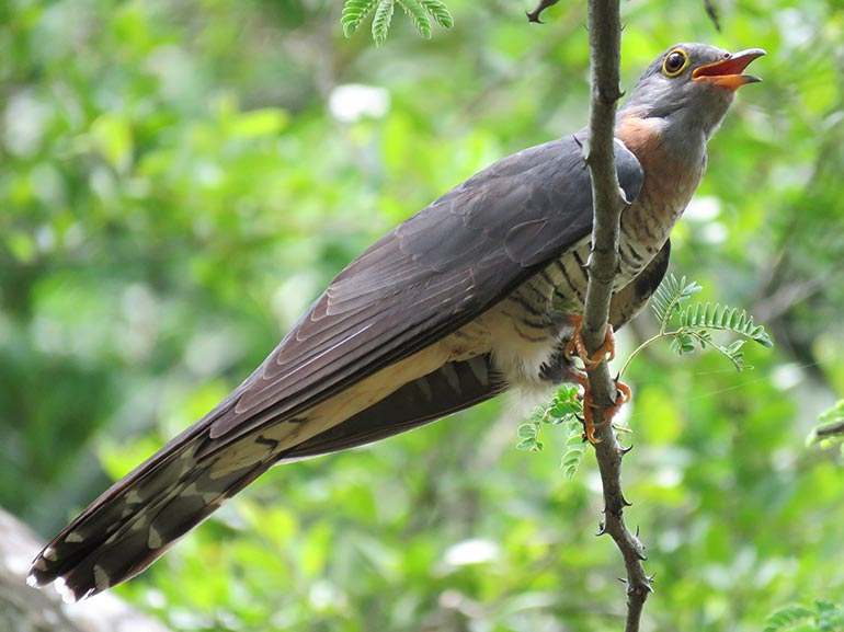 Juvenile-Red-chested-Cuckoo