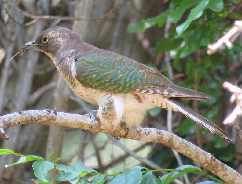 Klaas'-Cuckoo
