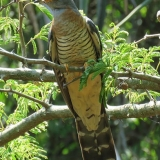 Red-chested-Cuckoo-