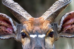 nyala-bull