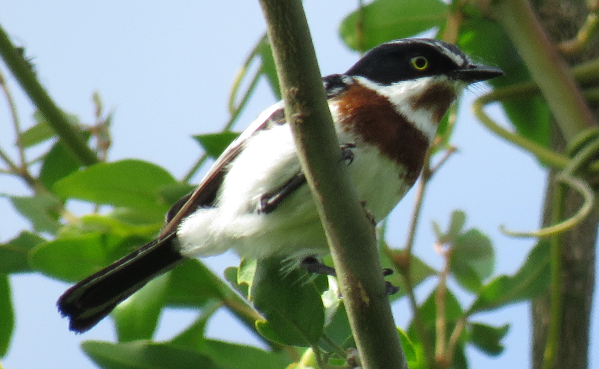 White-flanked Chinspot Batis
